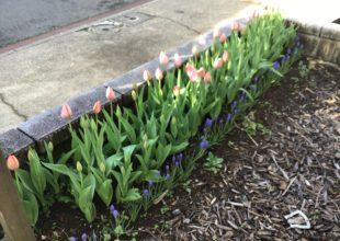 小さな花壇にチューリップの花が咲き始めました。