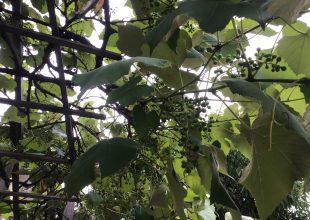 ブドウの摘果作業